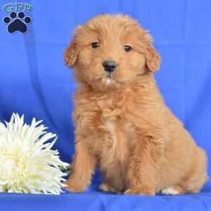 goldendoodle puppy denver goldendoodle puppies for sale in pa greenfield puppies
