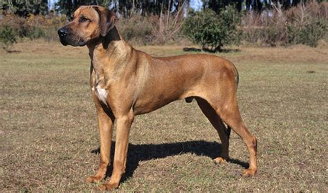 ridgeback puppy rhodesian ridgeback breed information