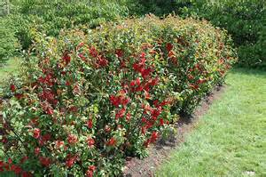 Zone Gardening Calendar - crimson beauty flowering quince chaenomeles x superba crimson beauty in raleigh chapel hill