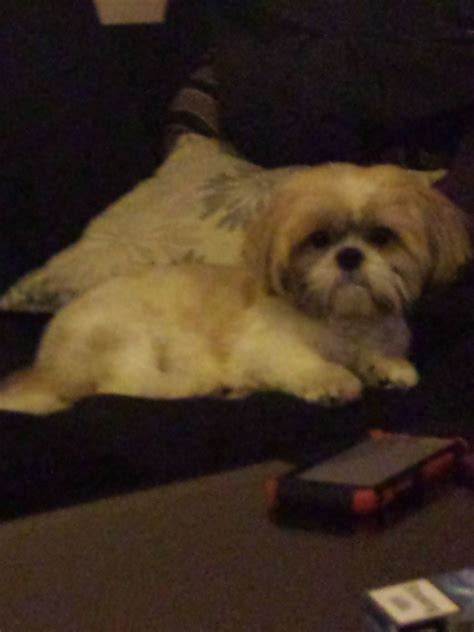 shih tzu birmingham breed pedigree shih tzu for stud birmingham west midlands pets4homes