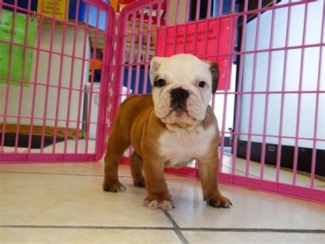 bulldog puppies for sale nc bulldog puppies dogs for sale in carolina nc greensboro