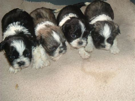 trained shih tzu puppies for sale shih tzu dogs for sale shih tzu discriminate language