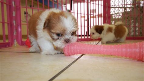 cavapoo puppies for sale in ga sweet orange white shih tzu puppies for sale in at puppies for sale local