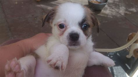 shih tzu mixed with chihuahua pictures shih tzu chihuahua mix puppies www imgkid the image kid has it