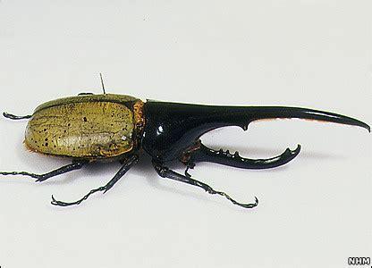 위기주부의 미국서부여행과 LA생활 :: 곤충 종이접기 5탄: 큰딱정벌레(Hercules Beetle ...
