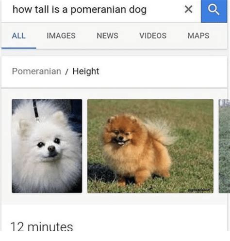 how is a how is a pomeranian all images news maps pomeranian height 12 minutes