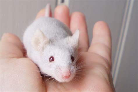 mice as pets 13 may 2015 pet blog veterinary tips