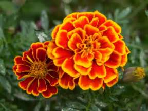 mami made it october birth flower blume des planting marigolds orchid flowers