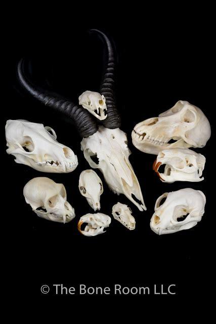 bone room real animal skulls for sale the bone room