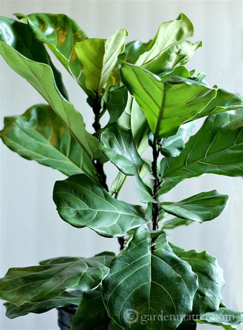 fiddle leaf fig growing a fiddle leaf fig tree hearth vine
