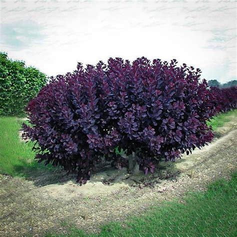 velvet cloak smoke tree for sale online the tree center