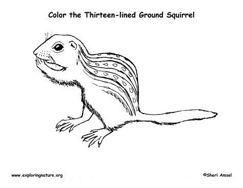 Ground Squirrel Coloring Page | thirteen lined ground squirrel coloring