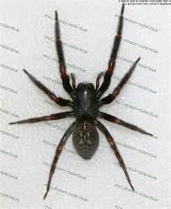 australian house spider australian house spider australian house spider photos