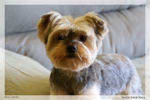 yorkie teddy haircut cute morkies morkie poos and yorhies teddy bear haircuts