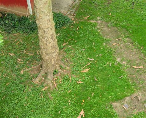 Sycamore Tree Shedding Bark by Sycamore Tree Shedding Bark Ask An Expert