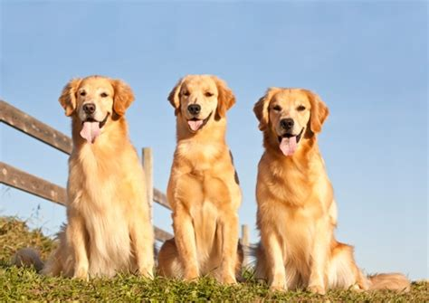 golden retriever photography animal photography golden retriever stock images picture photo ideas and breed