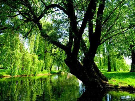 image  pixabay willow green nature tree poland herbs  headaches natural herbs