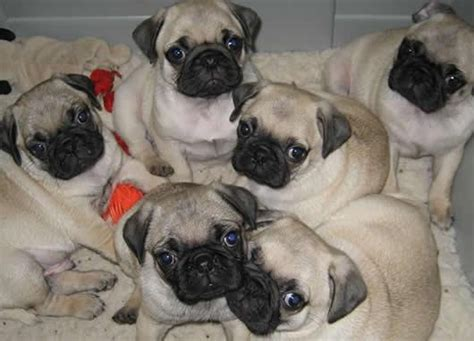 how to raise a pug pug litter animales