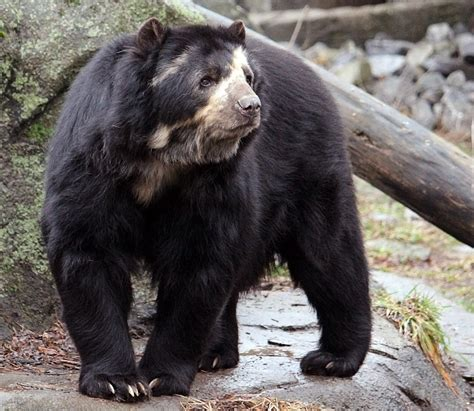 spectacled bear spectacled bear facts habitat diet life cycle baby