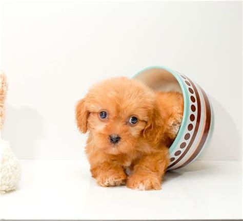 cavapoochon puppies cava poo chon puppy