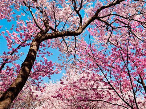16 curiosidades sobre los cerezos en flor