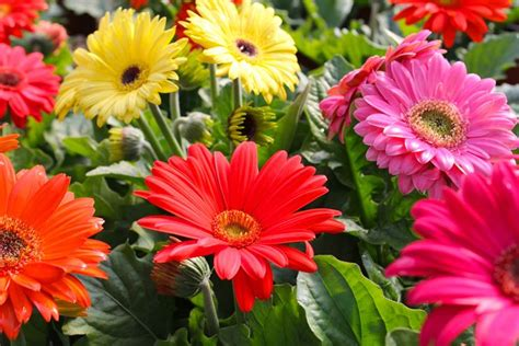 fiore gerbera gerbera gerbera jamesonii piante annuali la bellezza