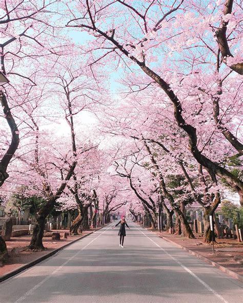 baca jenis jenis bunga sakura  kebun