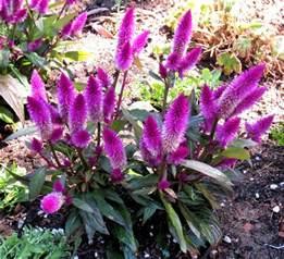 celosia flower late to the garden my favorite plant this week celosia argentea var spicata
