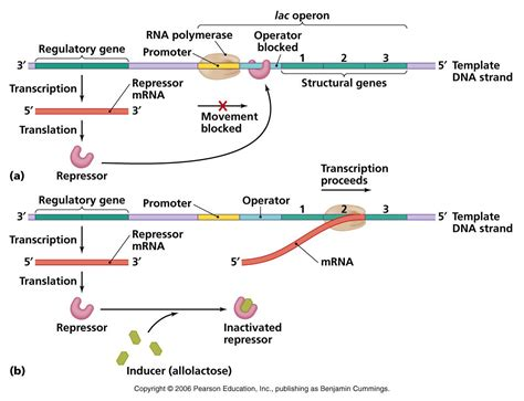 r protein operon pin operons can be inducible turned on by a substrate or