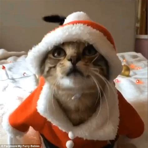 feline festive adorable videos show tabby cats dressing