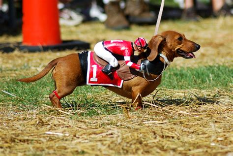 costume for dachshund happy hallo weenie 20 hilarious dachshunds in costumes page 2 of 2 wiener daily
