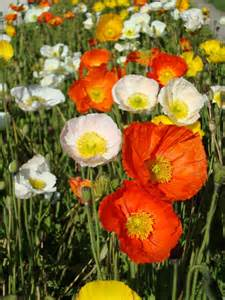 1000 Images About Poppy On Pinterest Leg Cast Poppies And » Ideas Home Design