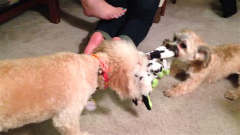 havanese vs bichon bichon vs havanese tug of war