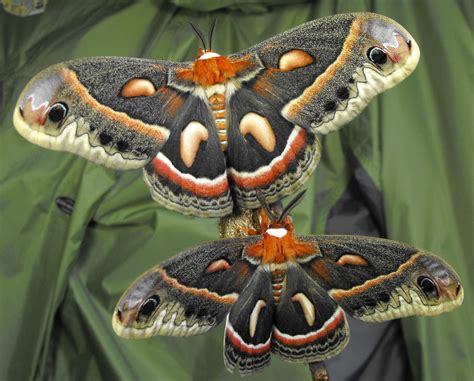 colorful moths cecropia moth colorful climax of brief transition