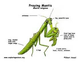 kpps grade2 praying mantis