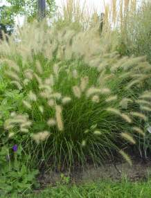 the plant library scientific name pennisetum alopecuroides common