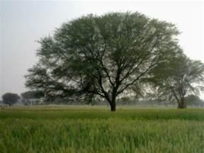 panoramio photo of keekar tree