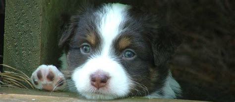 mini aussie puppies oregon miniature australian shepherd breeder mini aussie puppies for sale breeds picture