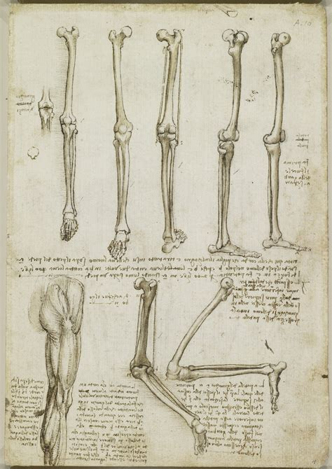 leonardo da vinci 1471166767 leonardo da vinci vinci 1452 amboise 1519 recto the bones and muscles of the leg verso