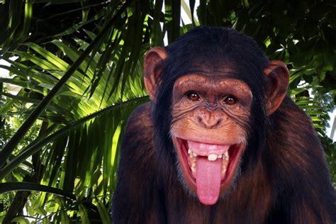 imagenes graciosas sacando la lengua un divertido chimpanc 233 sacando la lengua 36917