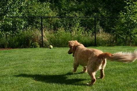 dog in the backyard easy and cheap diy temporary fencing for dogs