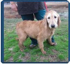 golden retriever airedale mix puppies 1000 images about k 9 lifesavers adoptable puppies adoptapet on