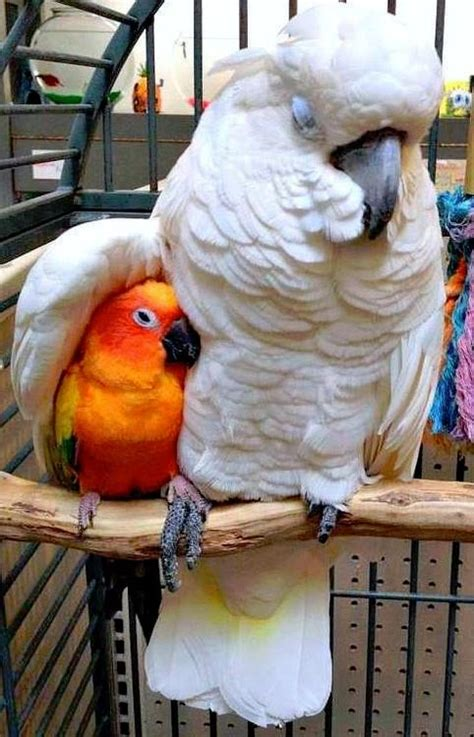 under my wing great photo of sun conure and cockatoo