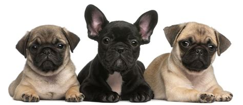 frenchie pug breeders frenchie pug puppies for sale breeds picture