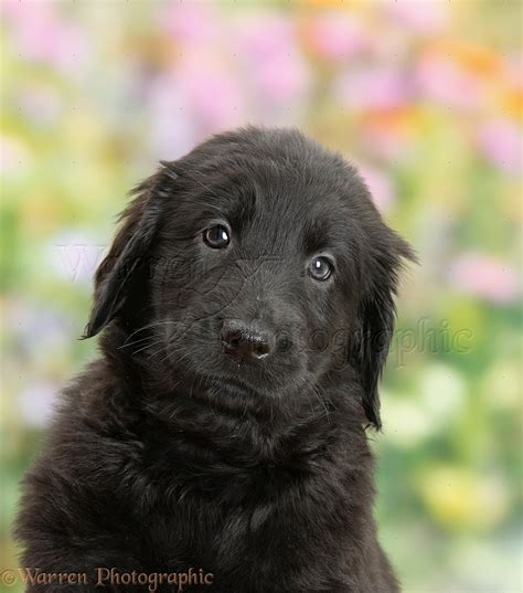 black retriever puppies black flatcoated retriever puppy 6 weeks photo wp38058