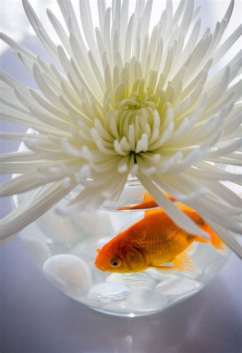 47 Best Images About Beta 47 best fish centerpieces images on centerpiece ideas goldfish centerpiece and marriage