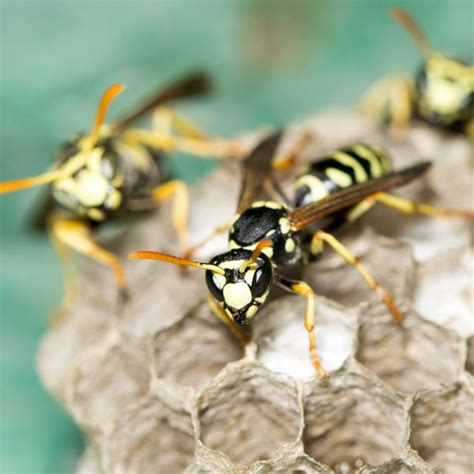 8 Tips On Getting Rid Of Yellow Jackets by Yellow Jacket Images Search