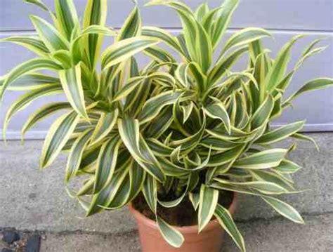 Tanaman Yellow Dracaena trees planet dracaena reflexa pleomele song of india