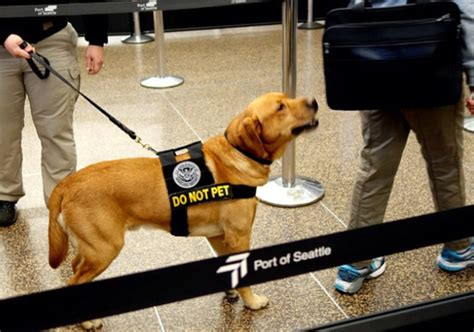 tsa dogs retired tsa bomb dogs need homes 5 pics alternative