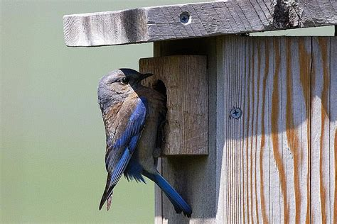 free bluebird house plans free plans for building a bluebird house